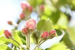 りんごの花(蕾)