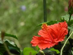 赤い花 ①