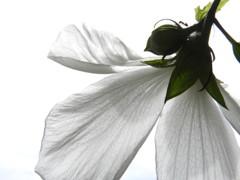 真っ白なお花.,。・゚*甘いのかな~?