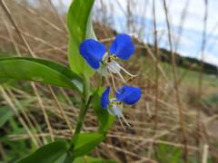 すずしげな 青い花色