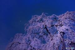 夜桜.. 月を添えて
