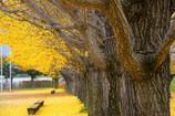 更埴中央公園の銀杏