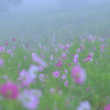 霧のコスモス畑
