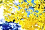 キラキラ輝く銀杏の葉