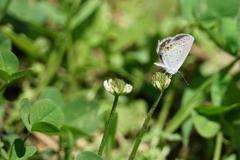 白詰草に燕小灰蝶①
