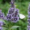 紋白蝶-長居植物園