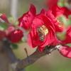 木瓜に蜜蜂