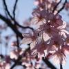 透通る陽光桜