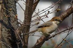 百舌鳥(♀)-桃が池公園