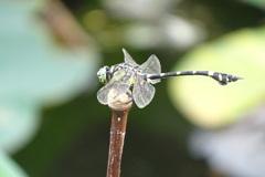 団扇蜻蜓-長居植物園