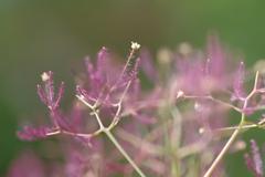 煙の木の花