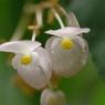 秋海棠-長居植物園