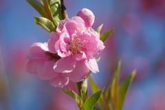桃-桃が池公園