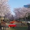 東外堀沿の桜