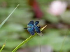 蝶蜻蛉-長居植物園