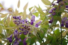 二度咲き藤の花
