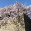桜・影・石垣