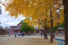 銀杏の黄葉と落葉③