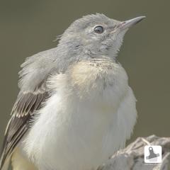 ★キセキレイ幼鳥