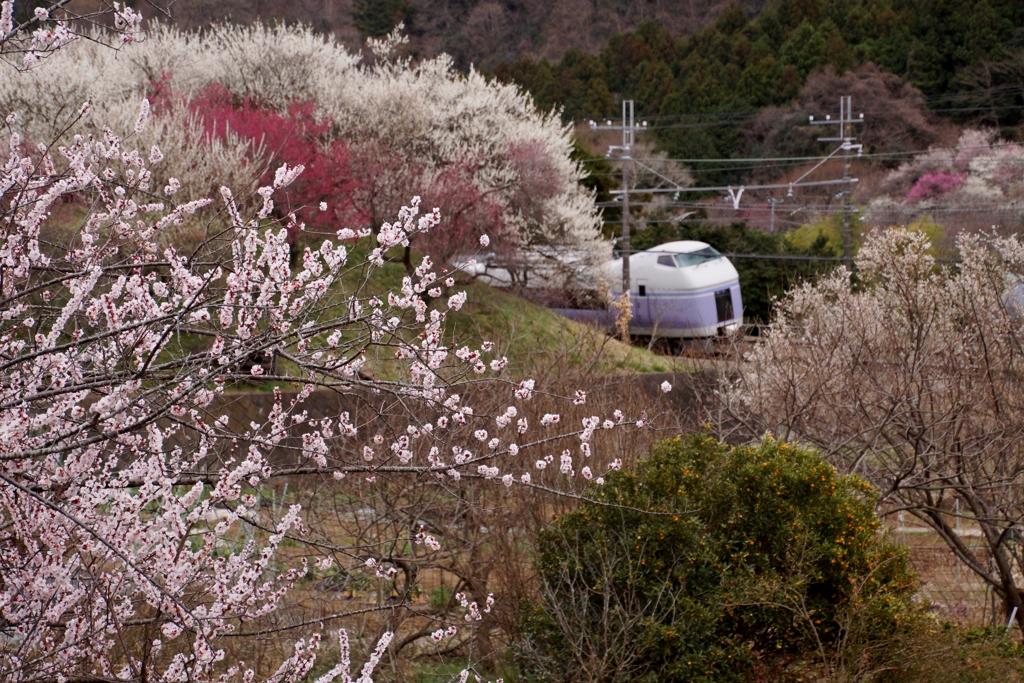 満開の梅の花に見守られ!good-by!