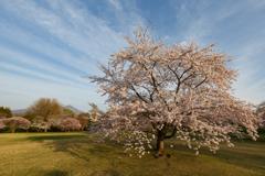 雲を吸い込む桜?