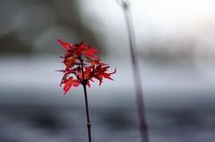 桜の馬場城彩苑 形見レンズの試し撮り
