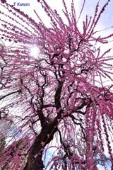 結城神社の枝垂れ梅⑤向かってくる光と花