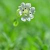 可憐な花々~ハマベマンテマ