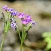 華麗な花々~レブンコザクラ