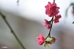 驚き~なぜ今 梅の花が①