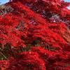 赤く燃える木(紅葉の風景④)