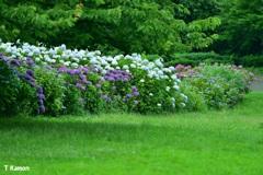 林の中の紫陽花