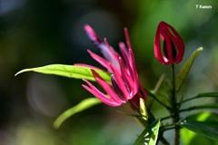 赤い花 ~ 濃紫