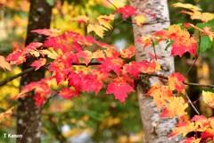 カナダで見つけた紅葉④