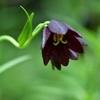 百合の花 ~ クロユリ