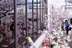 アーモンドの花④