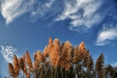 秋の空とパンパスグラス