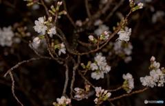 春雨の夜桜。
