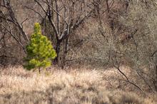 大井川の若樹。【蓬莱橋より】
