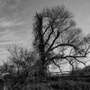 大井川の老木。