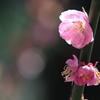 桜に席を譲らぬ梅はなし