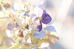 冬色紫陽花
