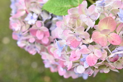 十月の紫陽花
