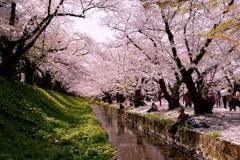 桜のトンネルで