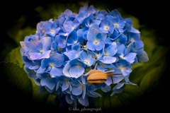 紫陽花×カタツムリ