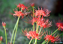 彼岸花とアゲハ蝶2