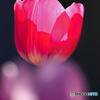 早咲きのチューリップ