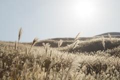 Japnaese pampas grass ⅲ