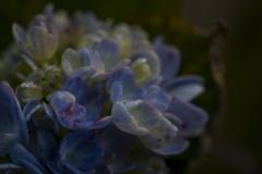 11月の紫陽花