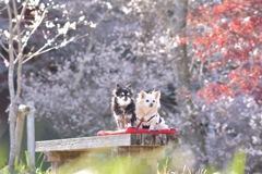 小原の四季桜�B